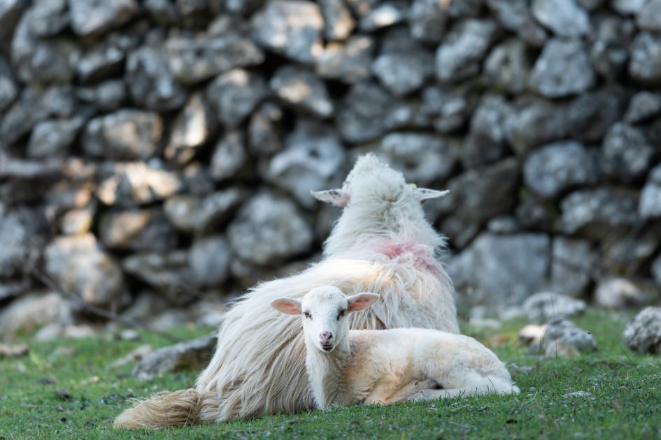 island-cres-sheep-lamb-resting-secret-adriatic.jpg