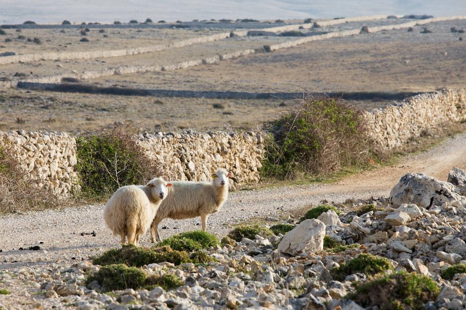 middle-adriatic-island-pag-sheep-secret-adriatic.jpg