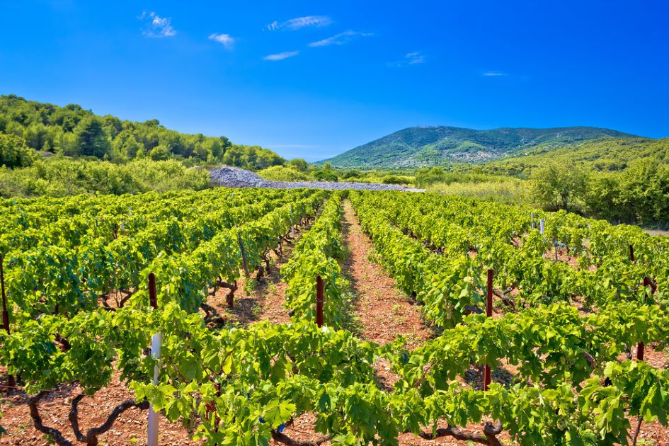 vineyards-vis-island-middle-dalmatia-croatia.jpg